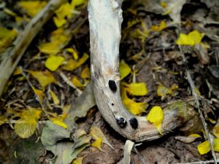 Sclerotia of sclerotinia stem rot on the outside of an infected canola stem