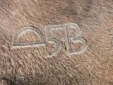 Cattle fire brand stamped on the back of a cow