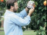 Checking a fruit fly trap in a fruit tree
