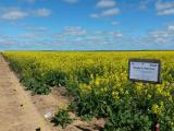 Canola variety by time of sowing at Binnu, 2015 Field Day