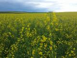 Early morning canola crop