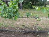 Vines affected by Botryosphaeria dieback show no foliage symptoms besides the reduced growth