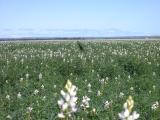 Flowering lupin crop