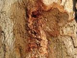 Discolouration/Staining of wood, Photo: FABI, University of Pretoria