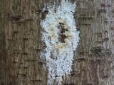 Sugar volcano on Avocado tree, Photo: FABI, University of Pretoria