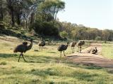 Eight emus in various positions on a green paddock.