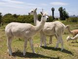 Two adult sized shorn white alpacas and three baby alpacas (cria) in the background grazing on a green paddock.