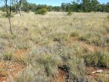 Photograph of arid short grass pasture in good condition in the Kimberley