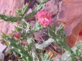 Cylindropuntia kleniae plant and flower