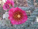 Cylindropuntia spinosior flower