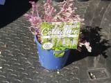Callisia Pink Lady
