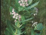 Flowering Calotropis plant.