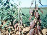 Leaf symptoms of Little cherry disease