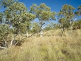 Photograph of curly spinifex (Triodia bitextura) pastures in the east Kimberley