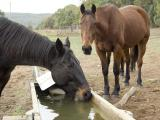 Horses can be affected by anthrax