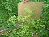 Yellowing and curling of leaves in zebra chip affected tomato plant