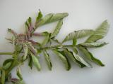 Zebra chip affected potato plant