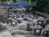 Merino ewes waiting in sheep yards