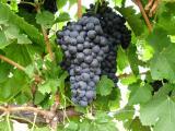 Durif wine grapes grown at Manjimup, WA