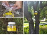 Fish lure being placed inside European wasp trap before hanging in street tree