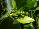 Shedding of fruitlets from Daisy mandarin tree in Bindoon - 2010