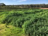 Hemp crop in orchard