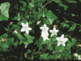 White ivy gourd flowers.