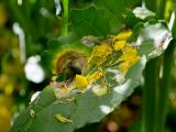 Canola leaf infection by sclerotinia stem rot