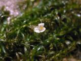 Leafy elodea flower