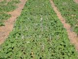 different density canola plots at vegetative stage