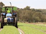 harvesting lettuce crop