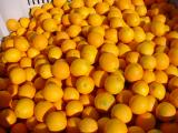 Newhall navel orange fruit in bin after harvesting - 2008