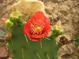 Red flower of Opuntiod elatior with cacti pad in background