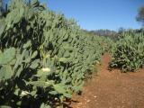 Opuntia elatior plant