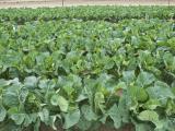Commerical cauliflower crop