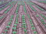 Plots of cauliflowers being grown in two rows and four rows per bed