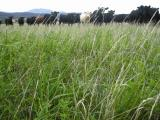 Cows in pasture - livestock emissions from cows are the main source of Western Australia's agricultural GHG emissions