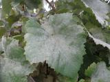 Powdery mildew on grape vine leaves
