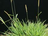 Setaria plant
