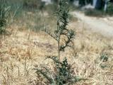 Mature saffron thistle plant.