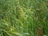 Wheat streak mosaic virus infected wheat crop