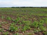 Canola paddock with weeds