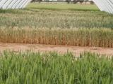 View through one of the rainout shelters at MEF Merredin with trials beginning to hay-off underneath