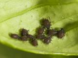 Brown citrus aphids
