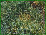Barley yellow dwarf virus infection of barley