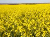 Canola field in full flower