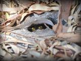European wasp nest hole entrance