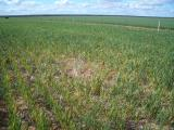 Wheat crop infected with Wheat streak mosiac virus