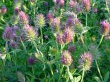 flowers of eastern star clover