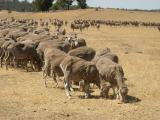 Trail feeding of ewes in late summer on dry pasture.